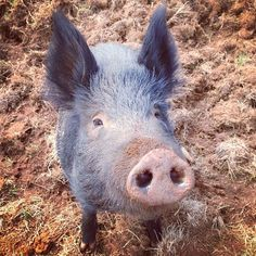 """I am fond of pigs. Dogs look up to us. Cats look down on us. Pigs treat us as equals."""" ― Winston Churchill"""