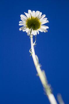 Las asteráceas (Asteraceae), también llamadas compuestas (Compositae Giseke, nom. cons.), reúnen 32 913 especies repartidas en unos 1911 géneros, por lo que son la familia de Angiospermas con mayor riqueza y diversidad biológica. La familia se caracteriza por presentar las flores dispuestas en una inflorescencia compuesta denominada capítulo la cual se halla rodeada de una o más filas de brácteas (involucro). Dandelion, Plants, Blog, Wealth, Jungles, Spring Summer, Flowers, Diversity, Dandelions