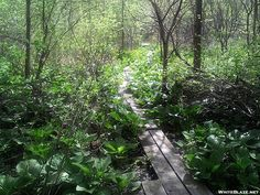 Crossing the Great Cedar Swamp (NJ)  on the Appalachian Trail on punchons in New Jersey. Punchons are very common from NJ north to protect sensitive areas of the AT.
