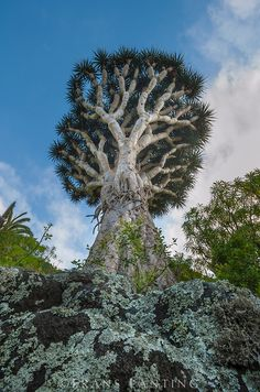 Frans Lanting - Dragon tree, Dracaena draco, Tenerife Island, Canary Islands, Spain (That's weird. I thought these trees were endemic to the island of Socotra) Tenerife, Frans Lanting, Dragon Tree, Unique Trees, Old Trees, Nature Tree, Tree Forest, Canary Islands, Amazing Nature