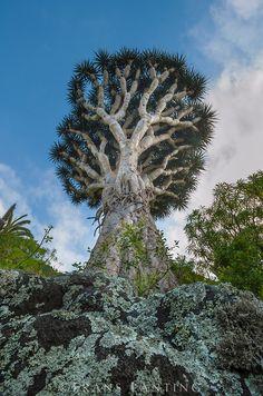Drachenbaum auf Teneriffa, Kanaren, Spanien