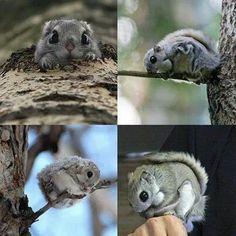 Japanese dwarf flying squirrel I NEED IT