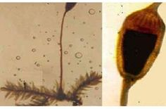 As briófitas se reproduzem tanto de forma sexuada, como se reproduzem de forma assexuada. A reprodução sexuada ocorre na água e com a alternância de duas gerações: uma que é esporofítica (que produz esporos) e a outra que é gametofítica (que produz gametas). A reprodução assexuada ocorre através da formação de propágulos no interior de estruturas presentes na planta-mãe.  Francisco Idamar