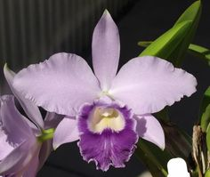 Lc. Cornelia x LC. Love Knot  'Big 6'