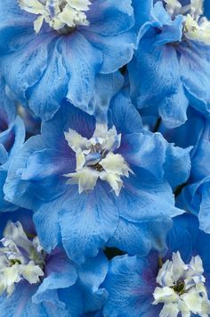 Delphinium cultivar.  #blue  #white