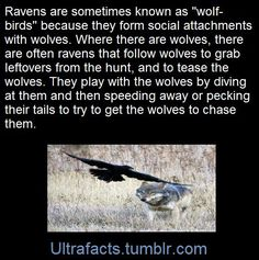 Wolf and their bff birds 🦅 Animals And Pets, Funny Animals, Cute Animals, Baba Yaga, Raven And Wolf, Pet Raven, Crows Ravens, Animal Facts, Wtf Fun Facts