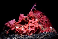 Honorable Mention, Portrait Filip Staes Devil scorpionfish in Lembeh Straight, Indonesia