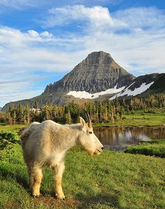 Mountain goat and Reynolds Mountain in the background, Glacier National Park, Montana
