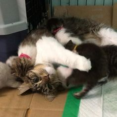 Rosie the cat, who is a rescue herself, decided she would nurse 9 orphaned kittens even though she didn't have any milk. Now all 9 fur babies have claimed her as their new mom!                       Courtesy: @lilothehuskyRosie was just 3 weeks old when she was found as a stray. A Husky named Lilo b...