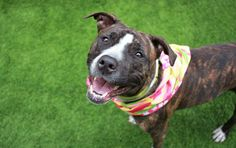 """FERN - A1107317 - - Manhattan TO BE DESTROYED 04/14/17 A volunteer writes: """"She pretends to be shy but she's really a little diva."""" Truer words were never spoke. Little miss Fern may at first glance appear to be a beautiful wallflower, but this petite princess is really a rose in bloom. Of course I was drawn to Fern right away. That hazelnut coat, those vanilla feet, those chocolate brown eyes! If there's a more delicious brindled beauty out there"""