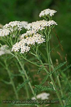 Milenrrama (Achillea millefolium)