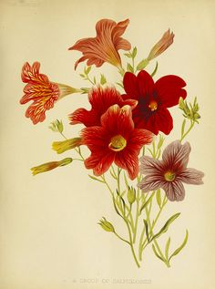 Painted Tongue. Salpiglossis hort. The garden. An illustrated weekly journal of horticulture in all its vol. 29 (1886) | by Swallowtail Garden Seeds
