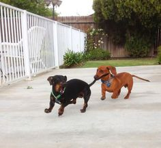 Dachshund Train ristie G. from Bakersfield, California sent in this photo of her two dachshunds. This is proof that chasing your tail isn't nearly as fun as chasing someone else's.