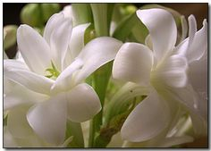 Tuberose - night bloomer extremely fragrant. Going in my evening garden by the deck.