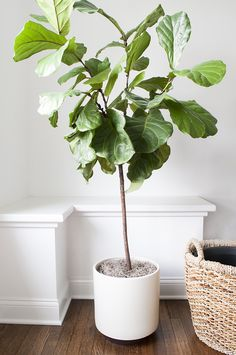 fiddle leaf fig tree in modern planter. Beautiful tall indoor tree.