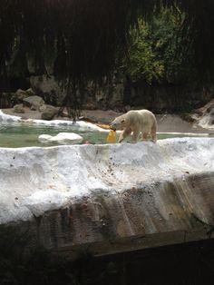 Polar bear at the Bronx Zoo. Bronx Zoo, Polar Bears, City Life, Pet Care, New York City, Cute Animals, Nyc, Pets, Places
