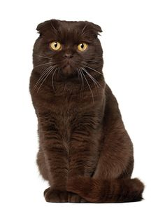 Brown Scottish Fold...Definitely this color....