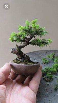 Wondering How Bonsai Trees Are Made? Garden Terrarium, Bonsai Garden, Garden Trees, Trees To Plant, Bonsai Tree Care, Indoor Bonsai Tree, Bonsai Pruning, Bonsai Plants, Mini Bonsai