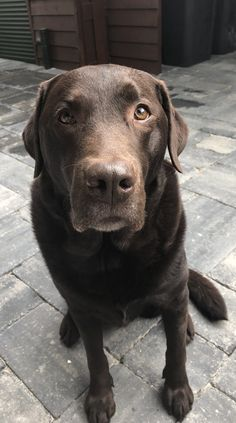 Labrador Retriever – Intelligent and Fun Loving Cute Cats And Dogs, Cute Dogs And Puppies, Baby Dogs, I Love Dogs, Pet Dogs, Dog Cat, Doggies, Chocolate Labrador Retriever, Labrador Retriever Dog