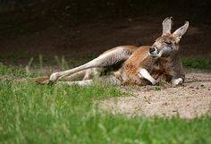 Wie schnell kann ein Känguru hüpfen? | Kuriose Tierwelt