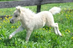 Little White Baby Mini Horse.