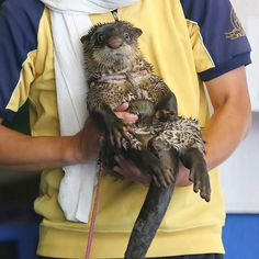 Human's arms can make a nice chair for otter - August 31, 2015
