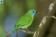 https://www.facebook.com/WonderBirdSpecies/ Blue-masked leafbird (Chloropsis venusta); Endemic to Sumatra island, Indonesia; IUCN Red List of Threatened Species 3.1 : Least Concern (LC)(Loài ít quan tâm) || Chim xanh mặt nạ lam; Loài đặc hữu đảo Sumatra, Indonesia; HỌ CHIM XANH-CHLOROPSEIDAE (Leafbirds).