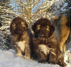 Caucasian Shepherd  | Caucasian Shepherd Dogs Winter Photo 1200×1134 #189547 HD Wallpaper ...