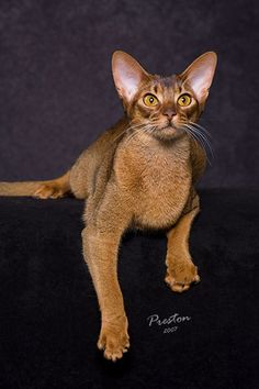 abyssinian cat   All About Abyssinian Cats - CFA Show Season 2008-09 - Winners Great ...