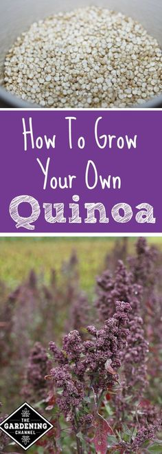 How to Grow Quinoa. Quinoa is a seed and not a grain. The plant is a flowering annual with edible seeds. Try growing this in your garden for a change.
