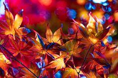 色鮮やかなモミジの葉