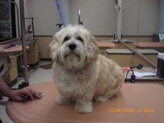 Meet Bozo, a Petfinder adoptable Lhasa Apso Dog | Long Beach, CA | Please contact Sherri (sparkyandthegang@yahoo.com) for more information about this pet.Bozo was a...