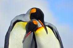 Pair of adult King Penguins bonding in courtship, South Georgia