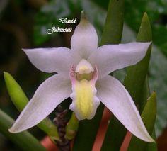 Bromhaedia aporioides