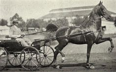 American Saddlebred stallion Kalarama Rex was by Rex Peavine out of Nancy Thurman (BHF)