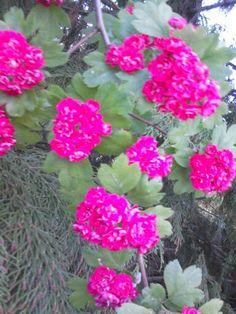 #głóg #wiosna