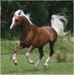UDJALI - Pretty 81% Arabian Stallion