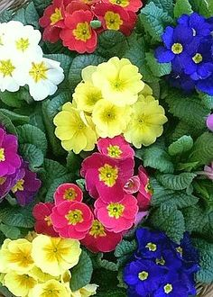 ✯ Primrose---love the happy little flowers!  Saw the Primroses in the store this morning, Spring can't be too far!