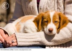 Brittany Spaniel..Family dog while growing up. Pup looks like our Patches.