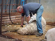 How to shear a sheep........just in case I ever have to do this. What are the chances????