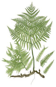 botanische plaatjes - Google zoeken