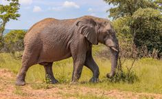 Majestically muddy - Elephants are herbivorous and can be found in different habitats including savannas, forests, deserts and marshes. They prefer to stay near water. They are considered to be keystone species due to their impact on their environments.