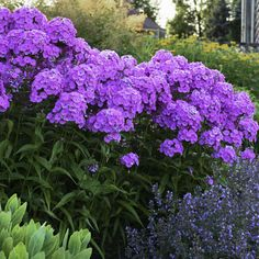 Flower Garden, Planting Flowers, Plants, Front Door Landscaping, Phlox Flowers, Trees To Plant, Shrubs For Landscaping, Landscaping Plants, Perennial Plants