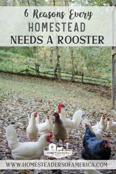Do you need really need a rooster on the homestead? Roosters constantly get a bad rep, and typically it comes from people who have either been attacked by a rooster, or who are simply uneducated about the way roosters work within a working homestead or farm. Either way, there are a lot of great reasons to own a rooster, especially if you're a working farm or homesteader. #homestead #selfsufficiency #smallfarm #farming #chickens #backyardchickens #rooster Meat Chickens, Raising Chickens, Chickens Backyard, Quail Coop, Modern Homesteading, Homestead Survival, Hobby Farms, Small Farm, Grow Your Own Food