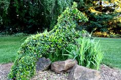 Ligustrum japonicum was used in this jumping horse topiary. Just behind the boulders are white flowering gladiolus