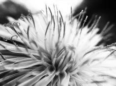 Dandelion B&W #2