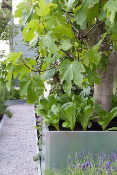 Fig fruit tree in raised bed with lettuce underplanted with lavender in bloom stone pathway house fruitscaping Fig Fruit Tree, Small Fruit Trees, Fig Tree, Veg Garden, Garden Plants, Garden Beds, Permaculture, Container Plants, Container Gardening