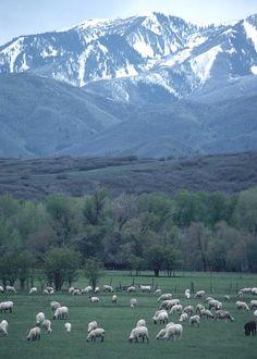 Midway, Utah  notice the black sheep :)  gotta Love the Charleston neighbors !