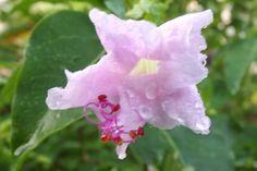 Anya's Garden Perfumes - grape soda scented four o' clock