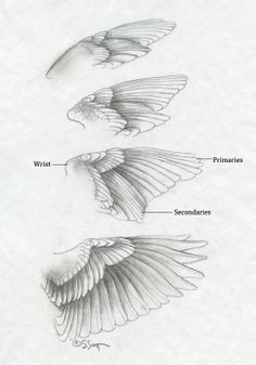 Folded Bird Wings | By locating this boney waypoint, the sculptor can easily determine ...
